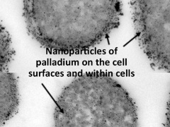 Palladium nanoparticles on bacterial cells